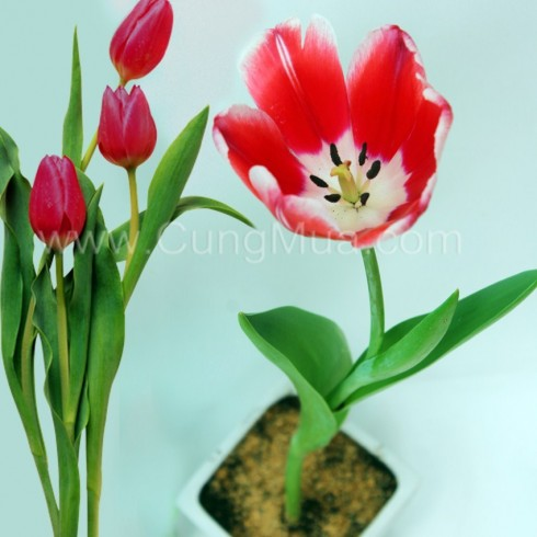 Chậu hoa Tulip (01 chậu + 01 cây hoa)