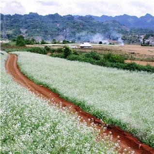 Cùng Mua - Tour Ha Noi - Moc Chau - Mua hoa cai 2N1D