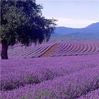 Cùng Mua - Da Lat 3N3D - ngam hoa Lavender - nghi duong 4*