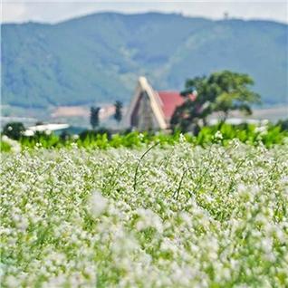 Cùng Mua - Tour Da Lat 3N3D - Da Lat Milk Farm - Hoa Tam Giac Mach