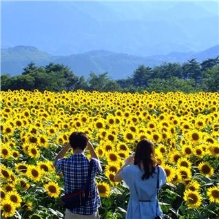 Cùng Mua - Ha Noi - Nghe An 1 ngay, ngam va chup anh mua hoa Huong Duong