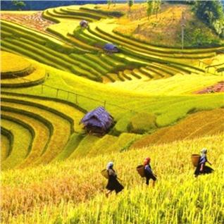Cùng Mua - Tour Mu Cang Chai - Sapa mua lua chin 3N2D