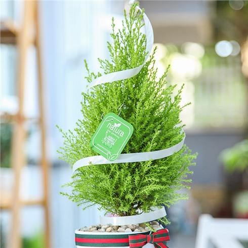 Cây cảnh trang trí Noel và năm mới, giao hàng miễn phí