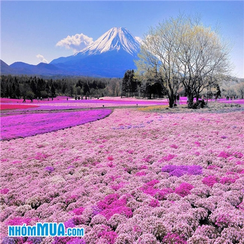 Tour Nhật Bản - Tokyo - Osaka - Kyoto - Núi Phú Sỹ 5N5Đ