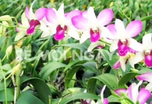 Chậu lan Dendrobium bằng phôi nhập khẩu từ Thái Lan - Vật Phẩm Trang Trí