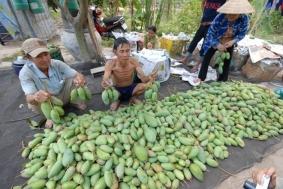 Địa chỉ mua xoài giải cứu nông dân Định Quán tại Hà Nội, HCM | Tin Khuyen Mai